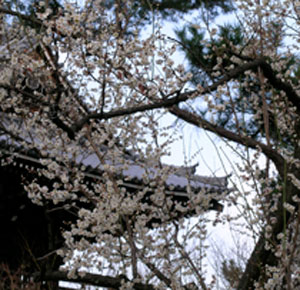 plum blossoms at Shokokuji temple