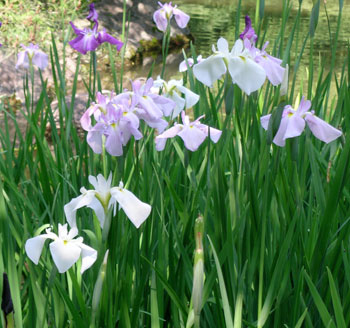 white irises in the garden at Heian Jingu