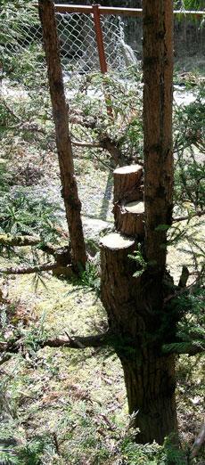 cedar tree pruned to create sustainable cedar harvest